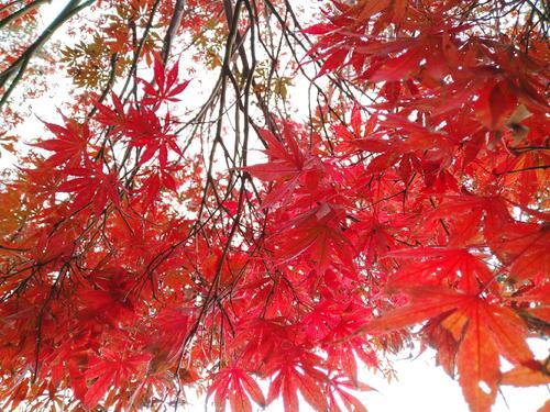 工程用挪威槭繽紛秋色-內蒙古挪威槭繽紛秋色