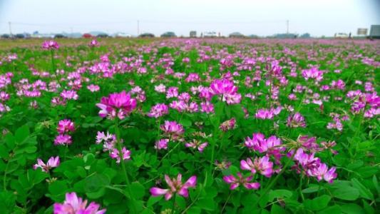 优良光叶紫花苕箭筈豌豆种子哪里买,光叶紫花苕什么时候种植