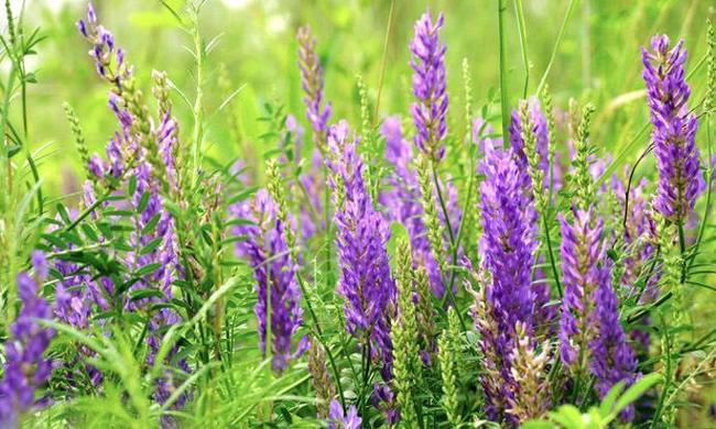 小冠花檸條沙打旺種子時時更新格-成都檸條種子