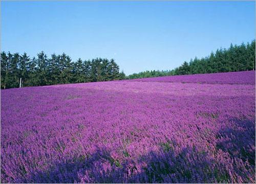 薰衣草批發-園林用薰衣草營養杯苗-園林用薰衣草哪里便宜