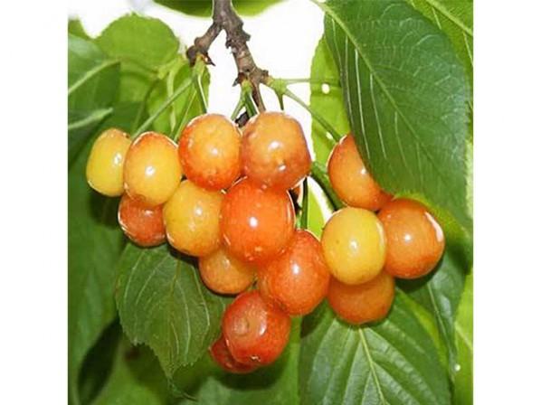 哥伦比亚樱桃供应-山东省先锋樱桃-潍坊市先锋樱桃