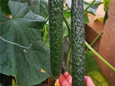 常规品种黄瓜种子-锦绣21黄瓜种子-锦绣22黄瓜种子