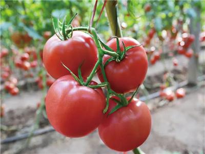绿色番茄种子-瑞星红牛西红柿种子-欧乐富4098西红柿种子