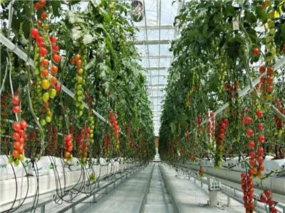 7114西红柿种苗-抗TY番茄种子-抗TY番茄种子供货商