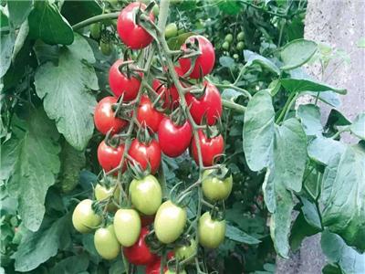 海根71西红柿种子-潍坊番茄种苗种植基地