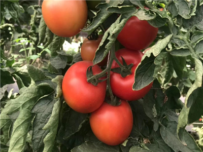 珍妮特西红柿种子-广东口感番茄种子-广西口感番茄种子