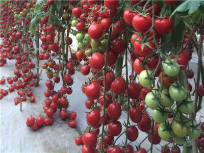 陕西口感番茄种子-山东哪家番茄种苗供应商好