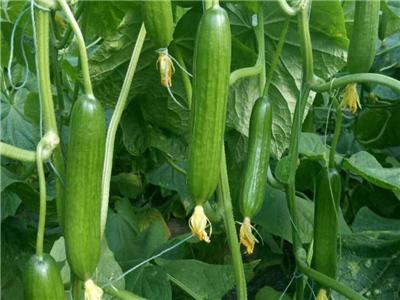 越夏黄瓜种子-抗白粉病黄瓜品种-抗黄点黄瓜品种