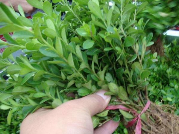 瓜子黄杨出售,瓜子黄杨哪里卖,瓜子黄杨哪家好