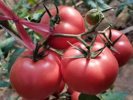 红果番茄种子