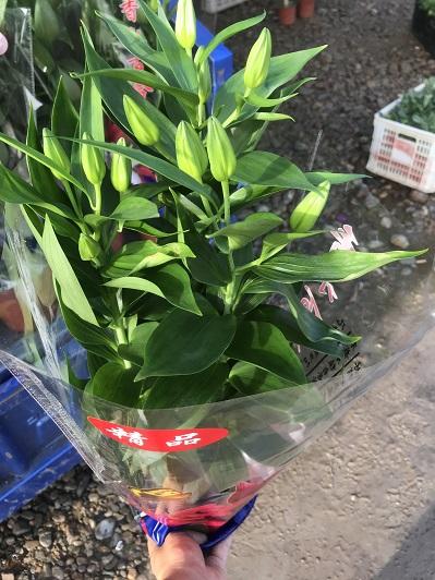 盆栽香水百合苗圃-沈陽香水百合-哈爾濱香水百合