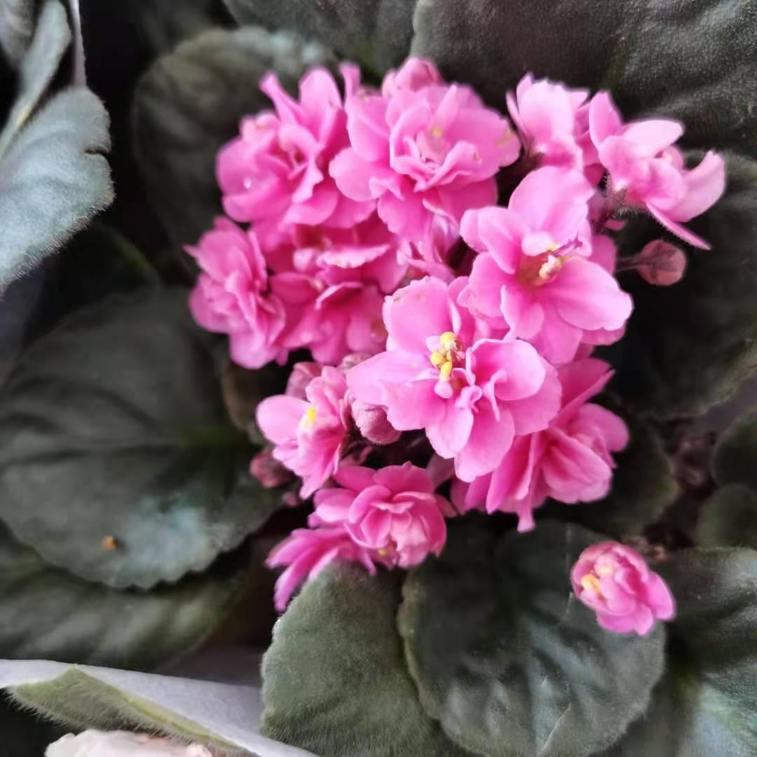 盆栽紫羅蘭出售-云南紫羅蘭-昆明紫羅蘭