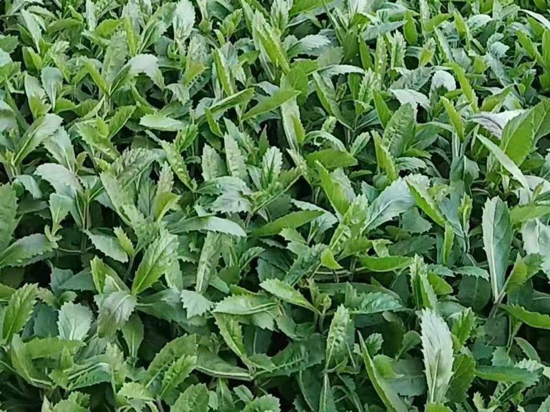 桑托斯马鞭草,桑托斯马鞭草种植基地,桑托斯马鞭草供应商