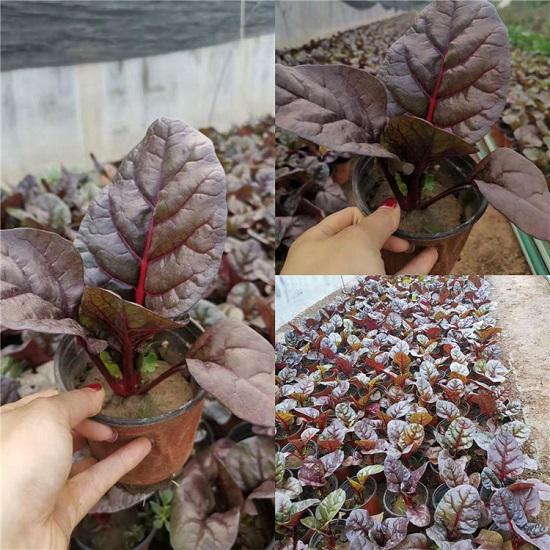 工程用红叶甜菜批发-哪里有提供优惠的红叶甜菜