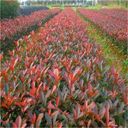 紅葉石楠哪家好-物超所值的紅葉石楠桐雨花卉苗木供應