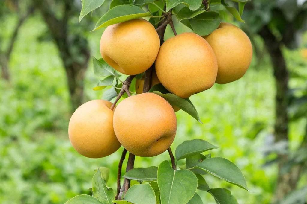 河南华硕苹果苗-想要果树苗就来硕果苗木种植合作社