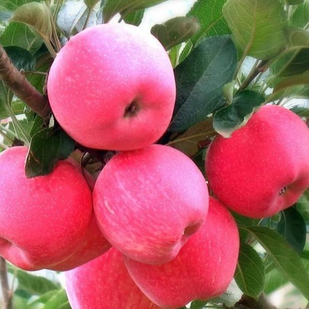 洛陽m9T337自根沾蘋果苗|哪里能買到果樹苗