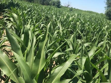 黑玉米种子-的玉米种子供应商