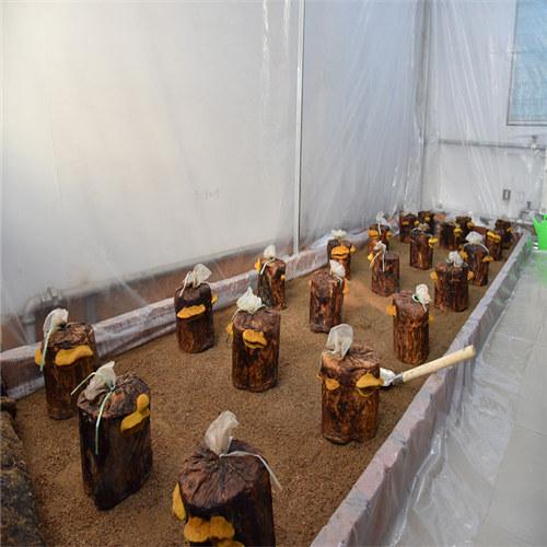 桑黄种子-桑臣菌种-桑黄菇种植