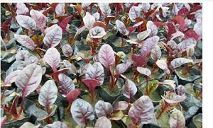 红叶甜菜价格-山西红叶甜菜基地-山西红叶甜菜小苗