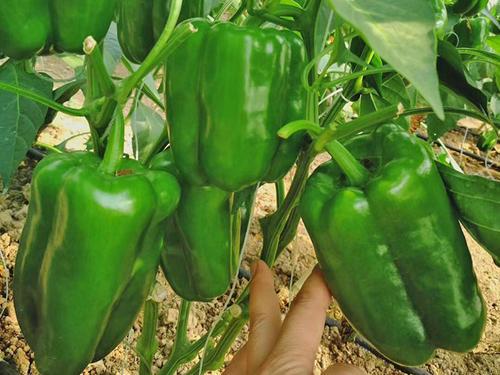 太空椒种子