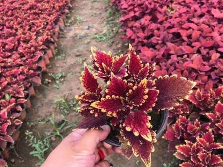 綠化用紅彩葉草培育-大量供應優惠的紅彩葉草