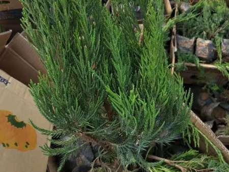 绿化用小龙柏培育基地-小区用小龙柏报价-小区用小龙柏培育