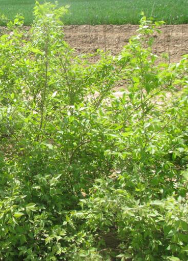 绿化用金银木供应-工程用金银木供应商-工程用金银木供货商