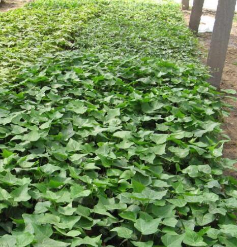 绿化用常春藤批发-常春藤供应-常春藤供应商