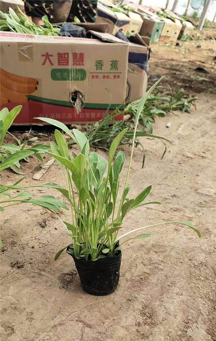 金鸡菊出售-山东金鸡菊批发-山东金鸡菊种植基地
