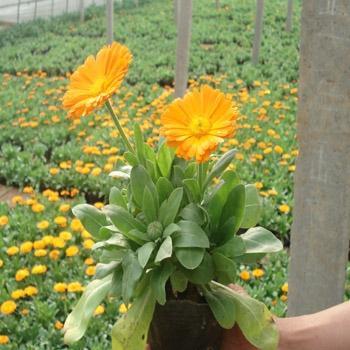 金盞菊哪家好-青島金盞菊出售-青島金盞菊供應