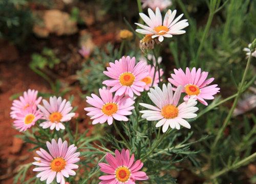 荷兰菊地栽苗-优良的荷兰菊哪里有
