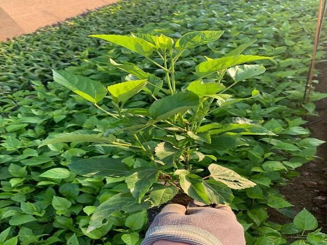 扶桑球袋苗基地直供品種規格齊全供應各種苗木樹苗地苗移植苗