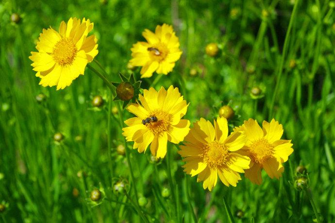 大花金鸡菊种植基地