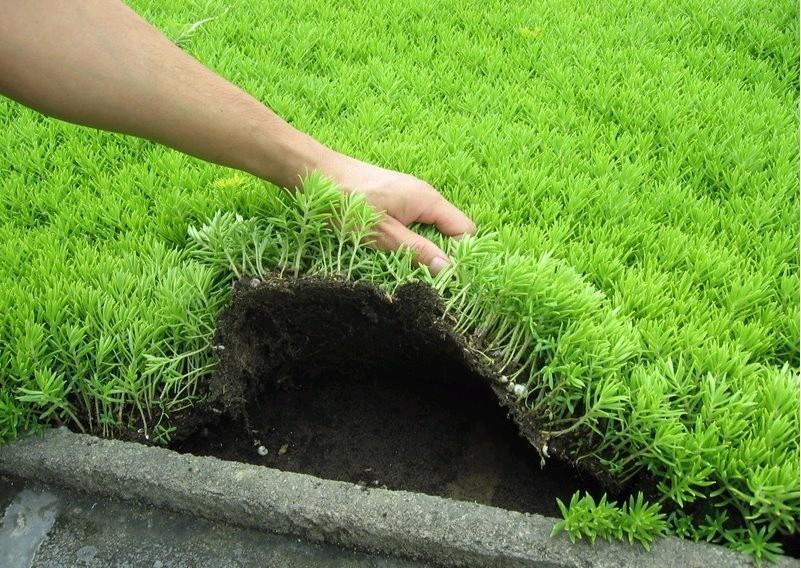 屋顶绿化佛甲草