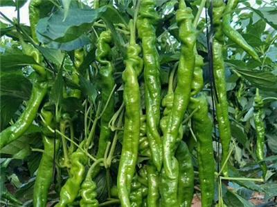 骁龙19辣椒种子-37-94螺丝椒种子批发