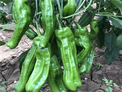 苏润一椒辣椒苗-35-150辣椒种子代理-曼迪彩椒种子批发