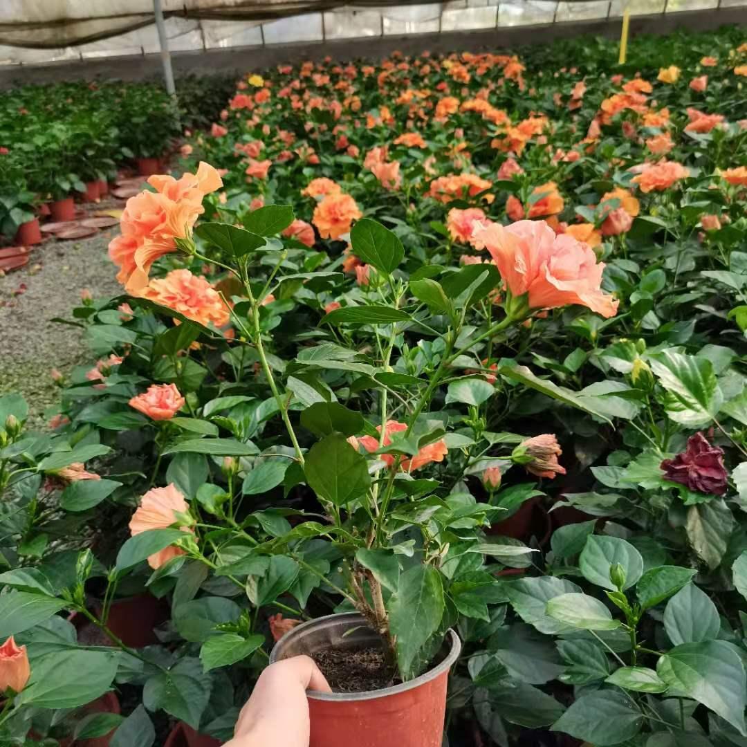 盆栽丹麦木槿-丹麦木槿基地