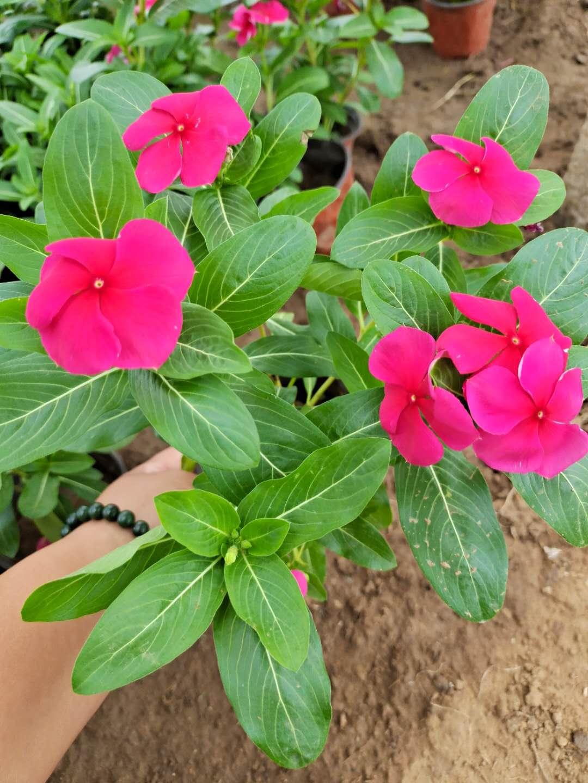 绿化用长春花种植基地-鄢陵长春花小苗-绿化用长春花