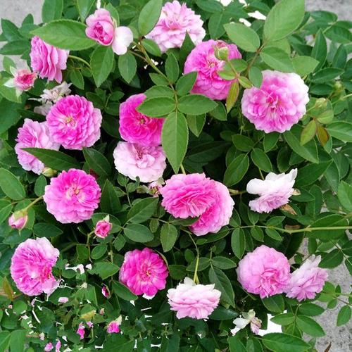 观赏用微型月季-来乐鑫花卉苗木,买优惠的微型月季