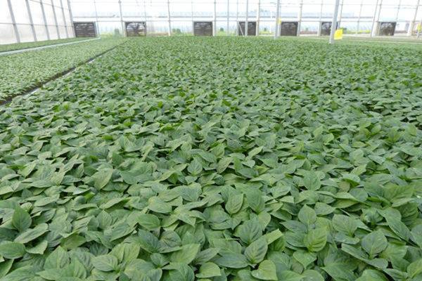 西红柿种苗公司-辽宁西红柿种苗-江苏西红柿种苗