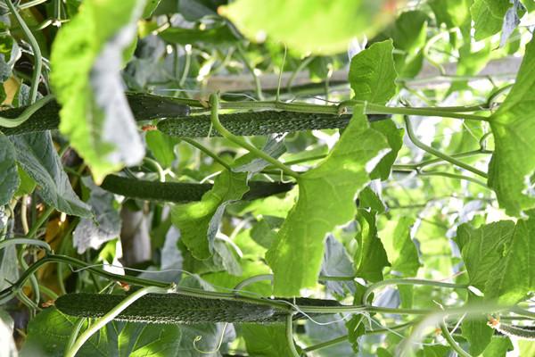 绿直嫁接黄瓜种苗代理价格-抗旱黄瓜种苗价格-抗旱黄瓜种苗公司