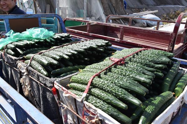 绿直黄瓜种苗基地直供-供应黄瓜种苗-代理黄瓜种苗