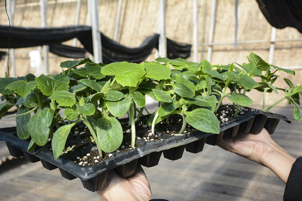 海泽拉抗旱黄瓜苗代理价格-出售海泽拉抗旱黄瓜苗