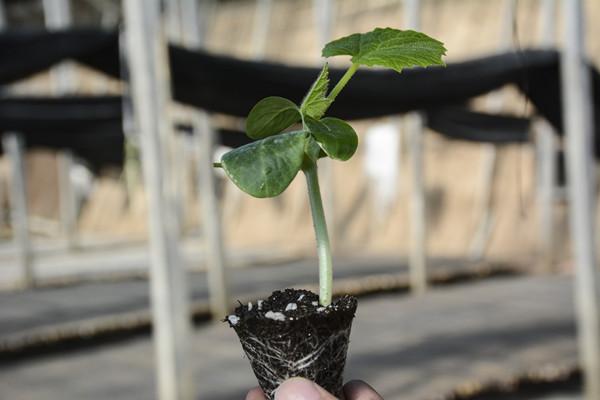 海泽拉黄瓜种苗价格-辽宁海泽拉耐热抗病毒黄瓜种苗