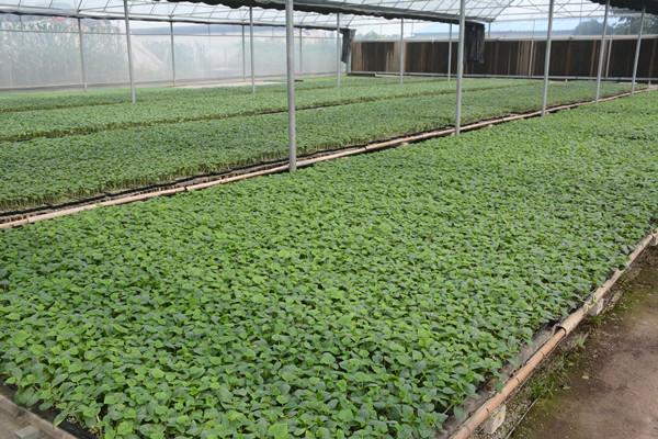 海澤拉抗寒黃瓜種苗品種-河南海澤拉耐熱抗黃瓜種苗