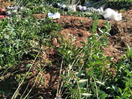 绿化用绿化苗木小苗-想买优良绿化苗木,就到顺安苗木