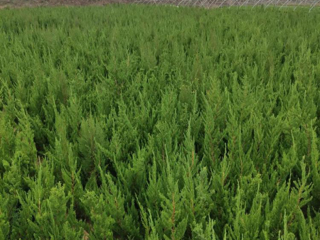 绿化用绿化苗木哪里卖-工程用绿化苗木供应商