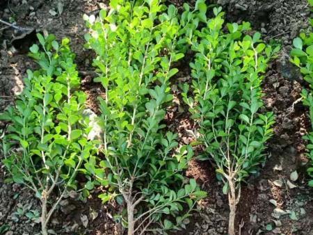 绿化用绿化苗木-绿化苗木基地-绿化苗木批发