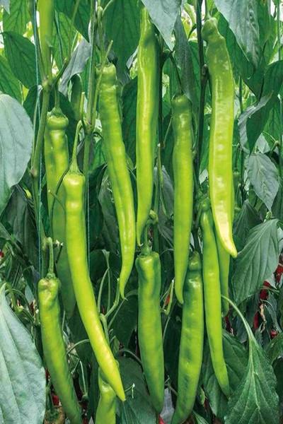 冷棚種植辣椒種子基地-祥隴1辣椒種子代理